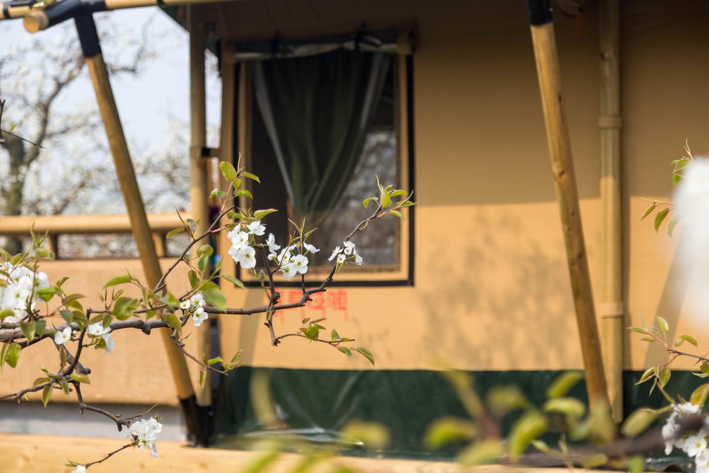 喜马拉雅野奢帐篷酒店—安徽砀山 东篱蓬芦(梨园41平)15